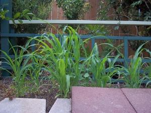 corn growing in the heat